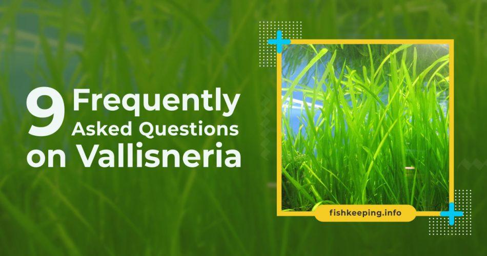 FAQ on Vallisneria