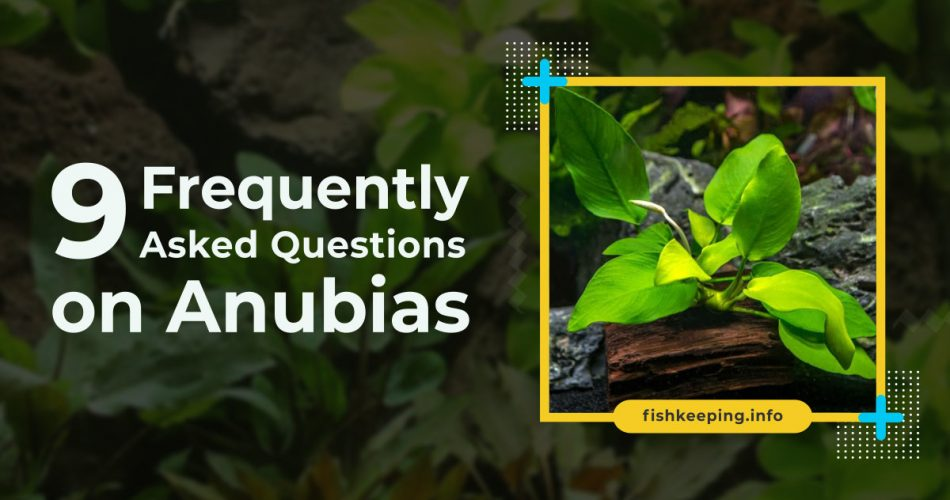 Frequently asked questions on anubias banner by en.fishkeeping.info