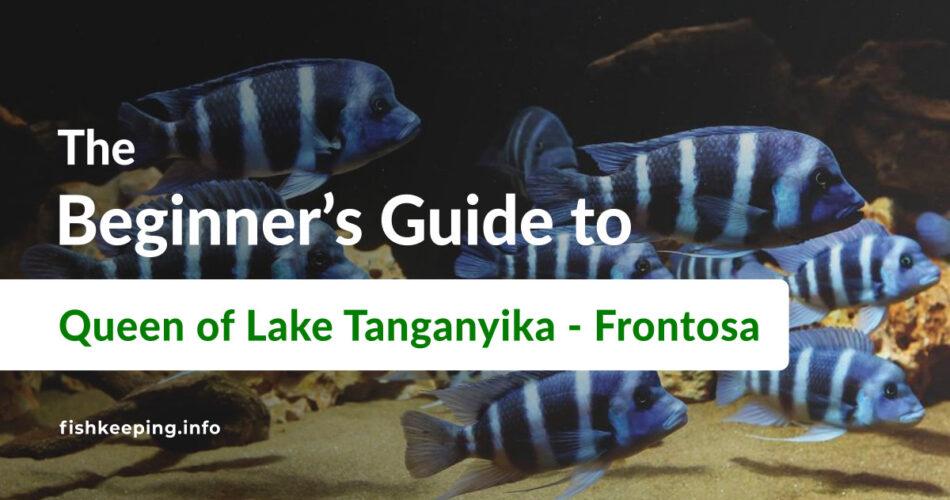 Cyphotilapia frontosa Guide