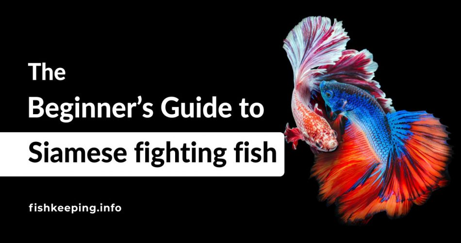Siamese fighting fish flaring at each other
