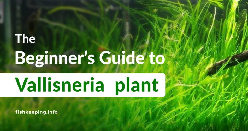 Vallisneria Plant Beginners Guide