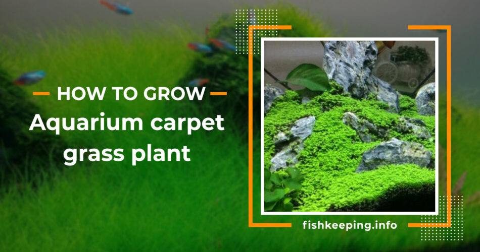 aquarium carpet grass guide