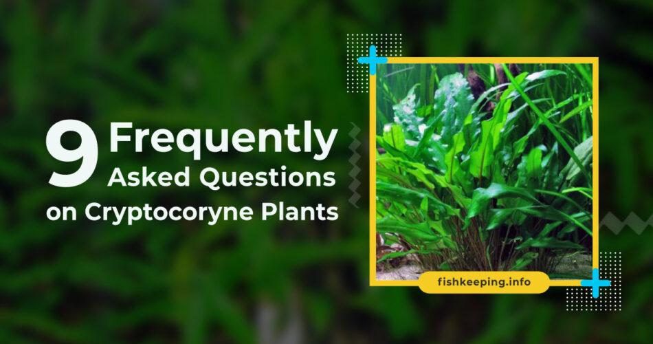 cryptocoryne or crypt plants
