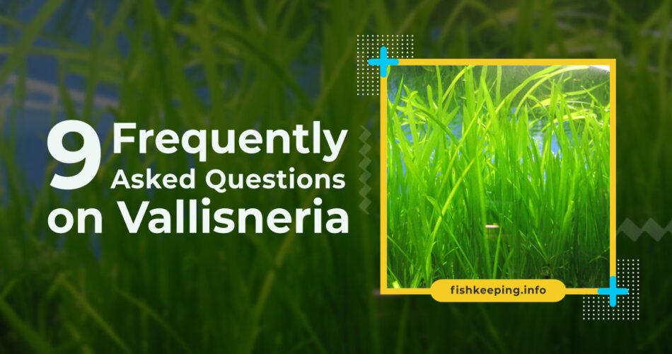 Vallisneria FAQ