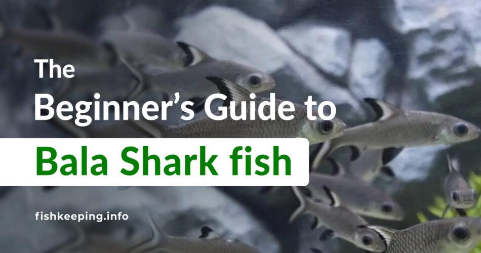 Bala Shark fish guide