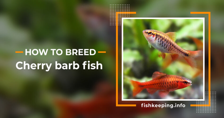 cherry barb fish guide