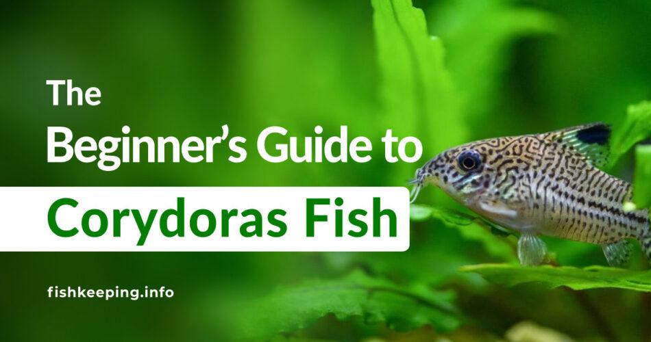 Corydoras Friendly fish