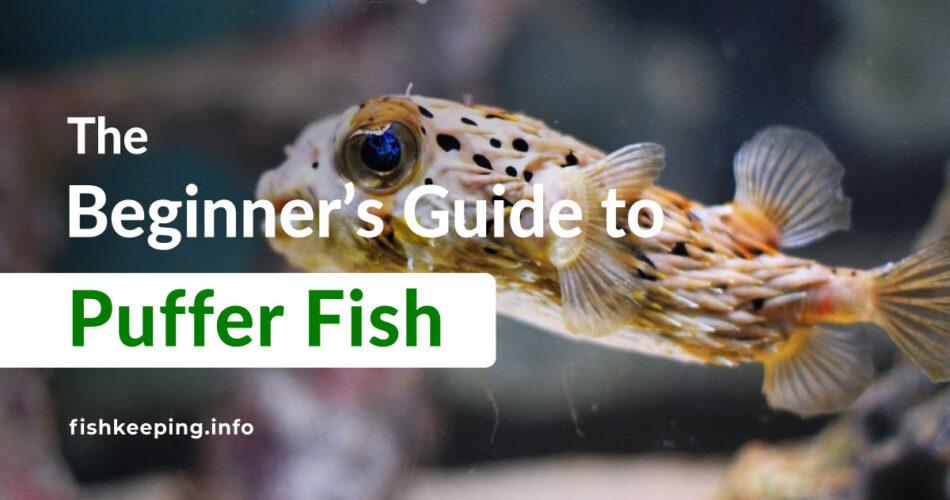 Puffer Fish guide