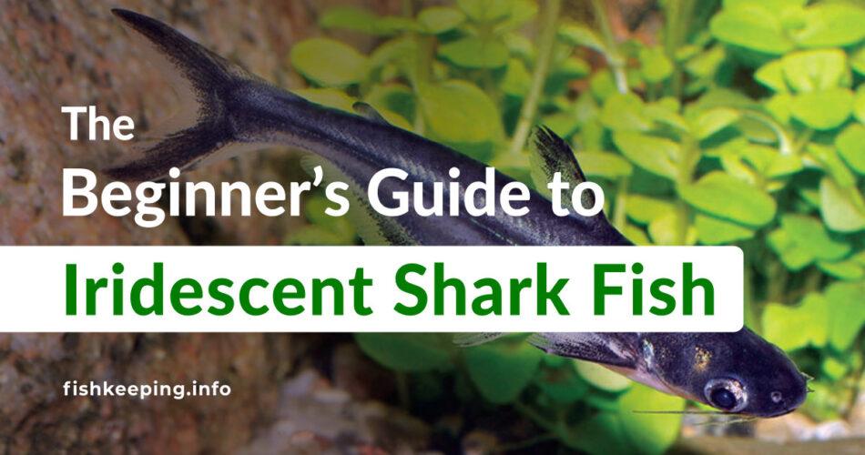 Iridescent Shark Fish Beginners guide