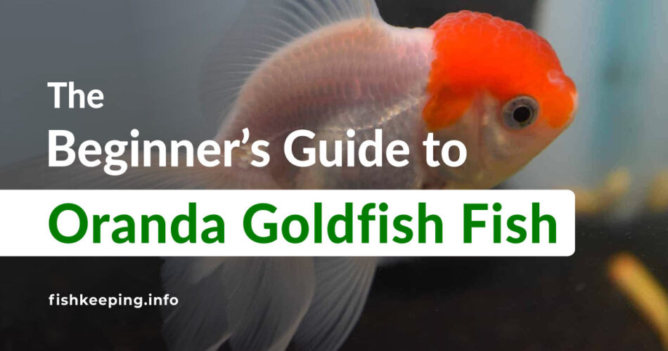 red cape goldfish guide