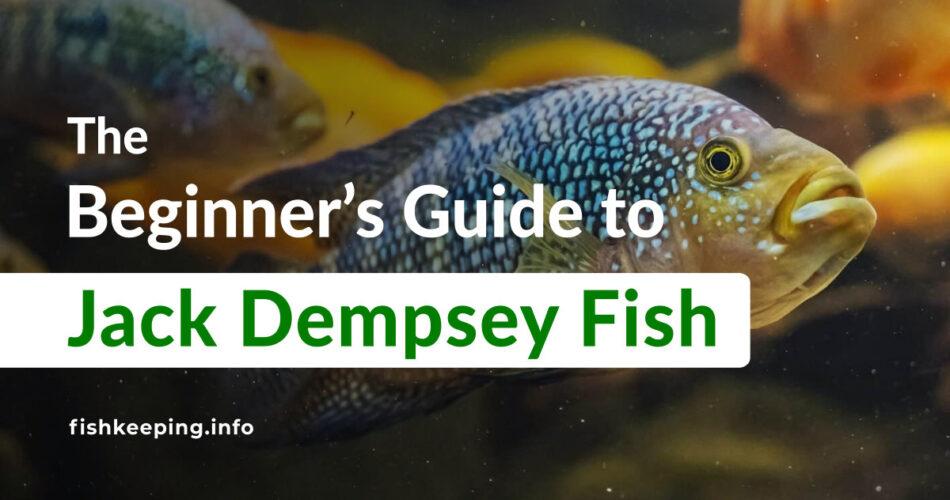 cichlid Jack Dempsey Fish guide